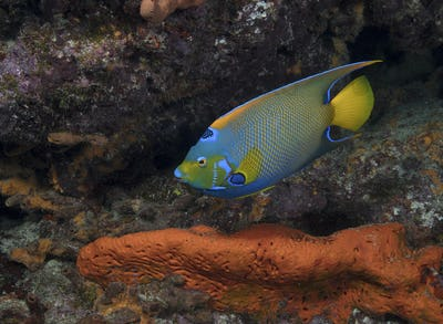 Queen angelfish (Holacanthus ciliaris) swimming over the seabed.