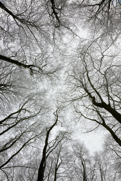 Low angle view of tree canopy in winter.
