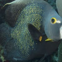 A French angelfish in the water.