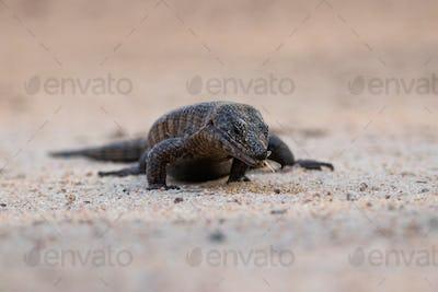 A giant plated lizard, Gerrhosaurus validus, walks on sand, eating insect