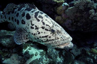 Potato cod, Epinephelus tukula underwater on the Great Barrier Reef