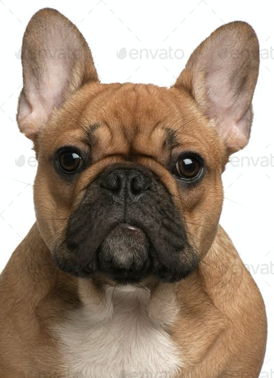 Close-up of French Bulldog puppy, 5 months old, in front of white background