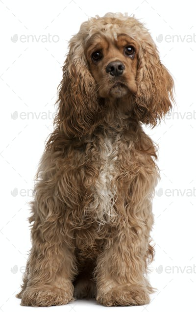 American Cocker Spaniel, 10 months old, sitting in front of white background
