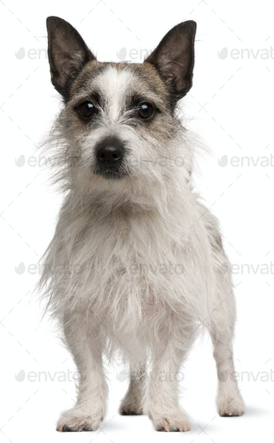 Mixed-breed dog, 2 years old, standing in front of white background