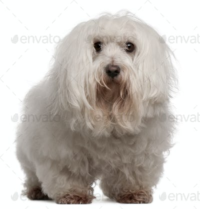 Maltese, 7 years old, standing in front of white background