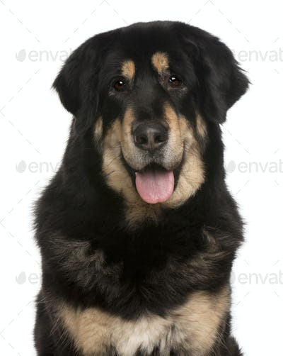 Mixed-breed dog panting, 5 months old, in front of white background