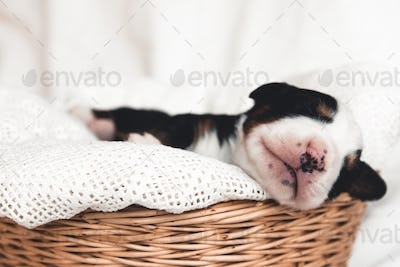 Little puppy of Bernese Mountain Dog in a basket. Cute animals