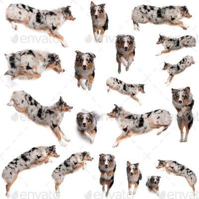 Composition of Australian Shepherd dogs jumping, 7 months old, in front of white background