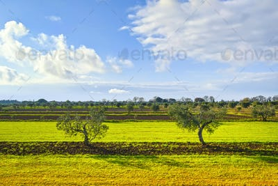 Two olive trees and countryside panorama in Tuscany. Cecina, Livorno, Italy