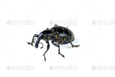 Large pine weevil isolated on white background
