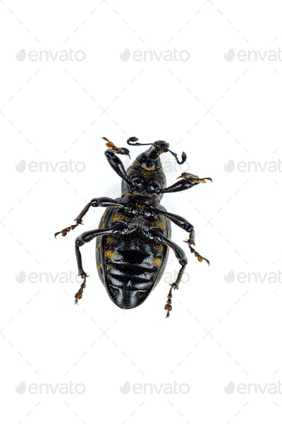 Dead large pine weevil isolated on white background