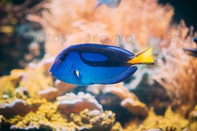 Blue Tang Fish Paracanthurus Hepatus Swimming In Water. Popular Fish In Marine Aquarium, Needs A