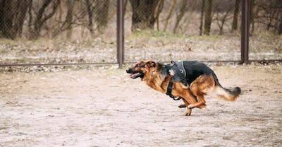 Fast running German Shepherd Dog at training. Alsatian Wolf Dog