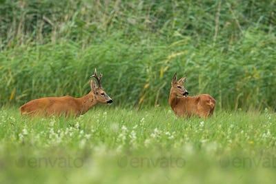 Pair of roe deer standing on field in summertime