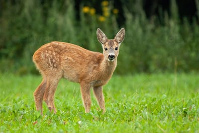 Young roe deer standing on grass during the summer