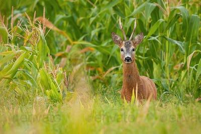Roe deer buck standing in corn field during the summer