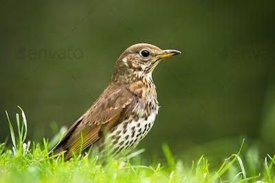 Song thrush sitting on grassland in summer