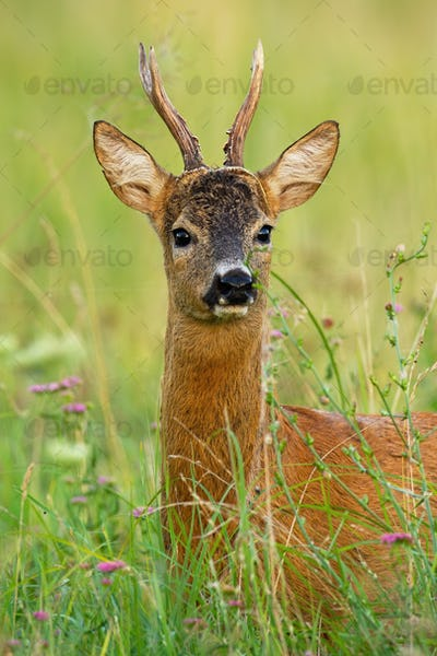 Interested roe deer buvk looking to the camera on meadow