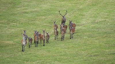 Dominant red deer stag following herd of hinds in rutting season