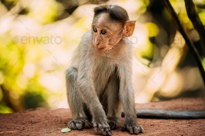Goa, India. Young Infant Bonnet Macaque - Macaca Radiata Or Zati Sitting On park Ground. Portrait Of