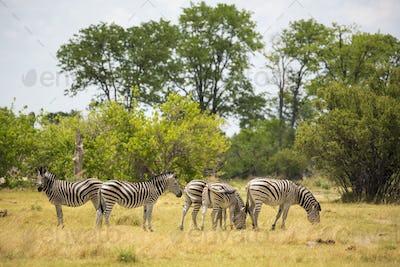 Burchells Zebra, Moremi Reserve, Botswana