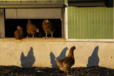 Free range chickens by a hen house, in the early morning, casting shadows on a wall.
