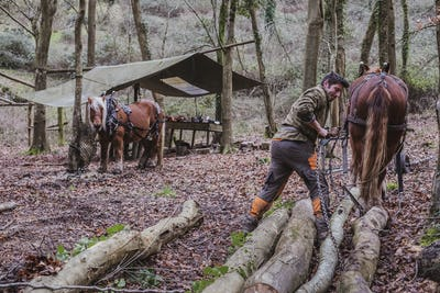 Logger and two work horses in a camp in a forest.