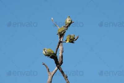 A flock of green pigeons, Treron calvus, perching in a dead tree against blue sky.