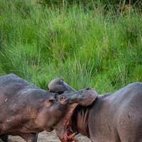 Two hippos, Hippopotamus amphibius, fight on land, mouth open, blood visible