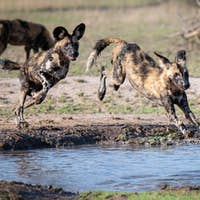 Two wild dog, Lycaon pictus, follow each other and jump over and into a water pan, muddy legs