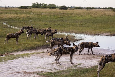 Pack of wild dogs, Lycaon pictus at a waterhole in a game reserve.