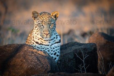 A leopard, Panthera pardus, ears forward