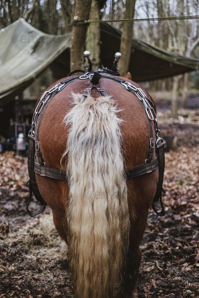 Rear view of brown Comtois horse with silver tail in a forest.