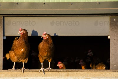 Free range chickens coming out of a hen house.