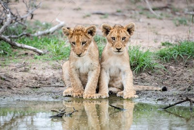 Two lion cubs, Panthera leo, sit together at the edge of a water hole, reflections in water