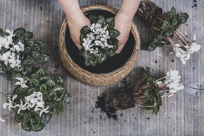 Woman potting up a large bowl with white flowering cyclamen plants.