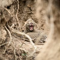 Newly born leopard cubs, cub with open mouth and closed eyes.