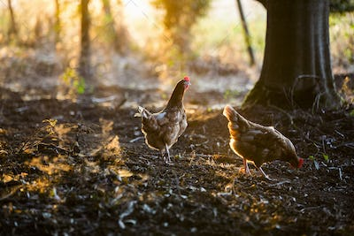 A free range chicken in woodland in early morning light.