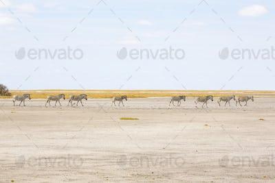 A group of  Burchell's Zebra in the Kalahari Desert