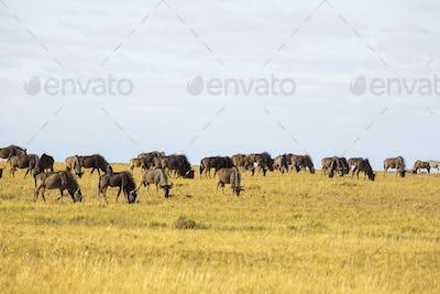 A herd of wildebeest, Kalahari Desert.