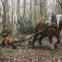 Logger driving work horse pulling a log forest.