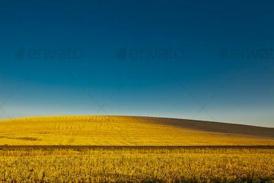 54557,Field of wheat under blue sky