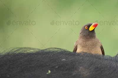 A yellow-billed oxpecker, Buphagus africanus, perches on an animal, green background