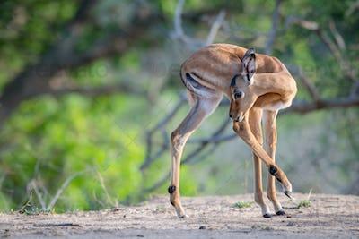 An impala calf, Aepyceros melampus, turns and licks its hind leg, hing leg raised