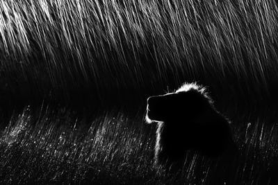 A side profile of a male lion, lying in tall grass, looking up at night.