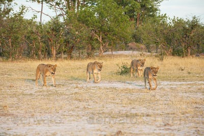 A pride of female lions walking across open space at sunset.