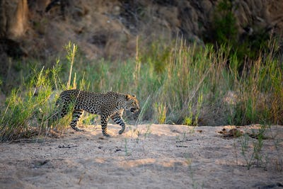 A leopard walks through a sand bank.