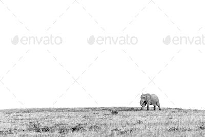 African elephant, Loxodonta africana, walking across an open plain.