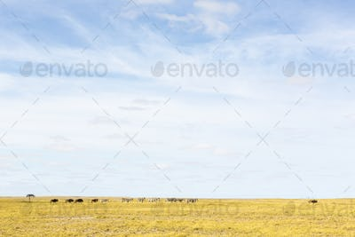 Burchell's Zebra and Wildebeests, groups of animals grazing in the Kalahari Desert