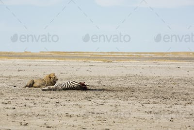 An adult male lion and a kill, a dead Burchell's Zebra.